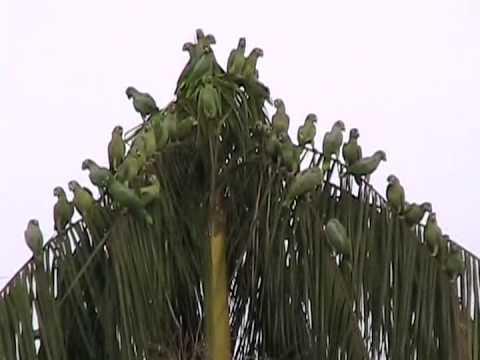 A Maior invasão de Papagaios Moleiro e Curicas. Registrada em uma Cidade.