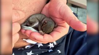 Twitch Slideshow - orphaned baby grey squirrel