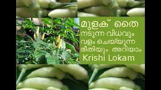 കാന്താരി മുളക് ഈസി ആയി വളർത്താം Chilly Farming Tips in Malayalam