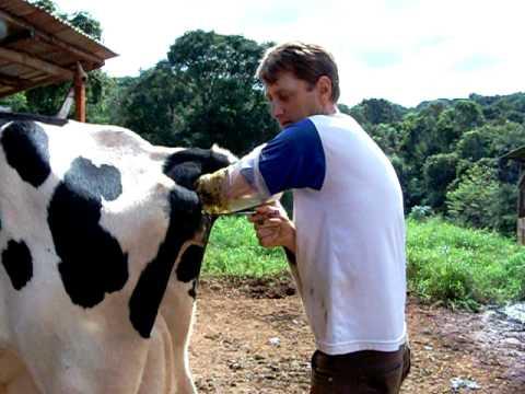 Como é feito inseminação em vacas How is it done artificial insemination in cow