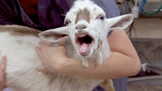 This Is What a Goat Sounds Like After Being Castrated