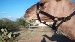 Camel with cactus stuck to lower jaw! Oh no