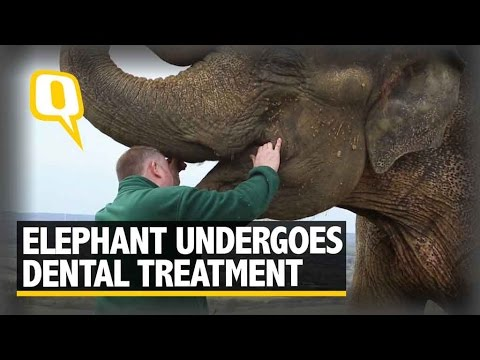 The Quint: Asian Elephant With Tooth Ache Undergoes Dental Treatment