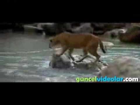 yavru ayı ile dağ aslanı