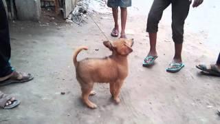 bolet tha tiger in dhaka basabo 2016