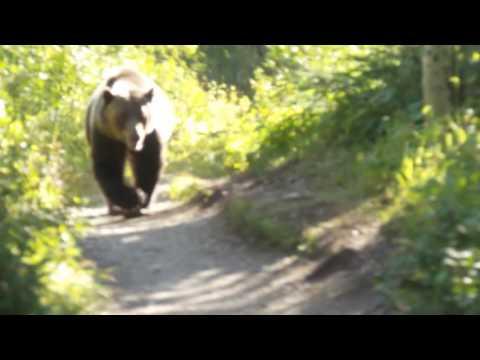 Grizzly Bear Encounter Aug 2016 Montana Glacier National Park