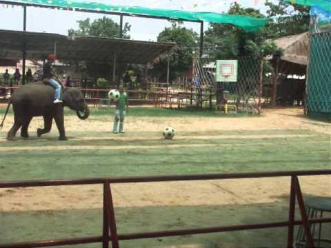 ช้างเตะฟุตบอล