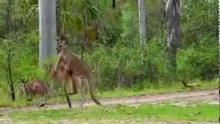 kangoroo fight