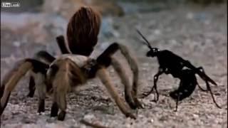 Tarantula Hawk VS Giant Barbarian Spider - FINISH HIM