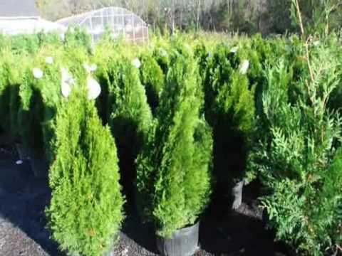 Video XXX  Feed Arborvitae Fertilizers Pa NJ NY