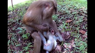 What monkey do with poor baby monkey without mom take care