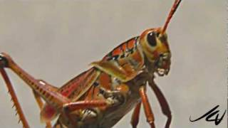 Florida's Giant Orange Grasshopper - YouTube HD