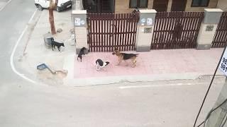 5 Street Dogs Vs Calm German Shepherd - India