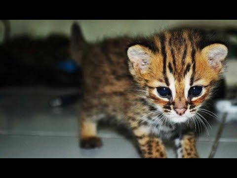 Cara Merawat Beby Kucing Hutan (KH)
