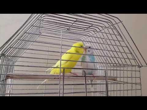 Çiftleşmek İsteyen Erkek Muhabbet Kuşu ve Çiftleşmek İstemeyen Dişi Muhabbet Kuşu