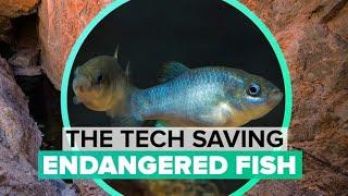 Saving endangered desert fish with tech