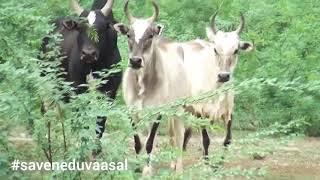 Native Breeds of tamilnadu umbalacherry