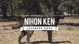 JAPAN'S RARE DOG BREEDS - NIHON KEN