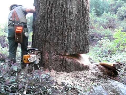 falling a bigger sugar pine