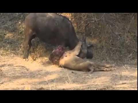 Buffalo kill lion