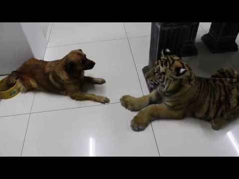 Xxx Mp4 New Dog Silly Tiger Clumsy Move Sory 3gp Sex