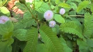 Mimosa pudica (putri malu).Ekologi Tumbuhan, Rony, sapto, Bram, dewan