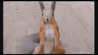 Squirrel Dances to Cotton-Eye Joe