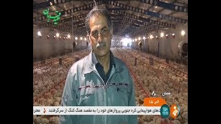 Iran Chicken farming, Summer 1398, Semnan province مرغداري صنعتي استان سمنان ايران