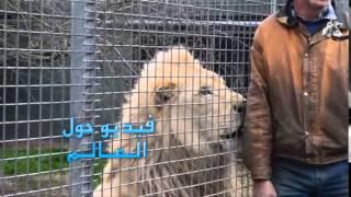 اسد غاضب يريد يأكل الحارس