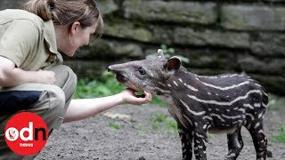 Can you help name this adorable baby tapir?