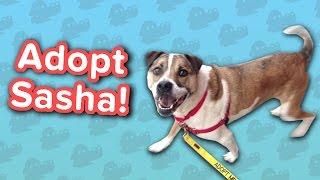 Adopt Sasha! // Boxer Mix // Adoptable Featurette