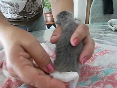 Como Cuidar un gatito recién nacido