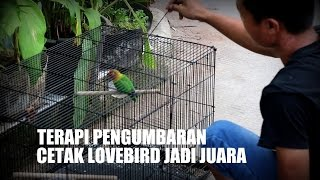 Dunia Hobi : Terapi Kandang Umbaran Bikin Lovebird Ngekek Panjang Download Mp3 Mp4 3GP HD Video