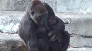 Fort Worth Zoo - Gorilla Baby