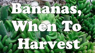 Bananas, When To Harvest