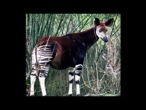 Xxx Mp4 Focus On Species Okapi Okapia Johnstoni 3gp Sex