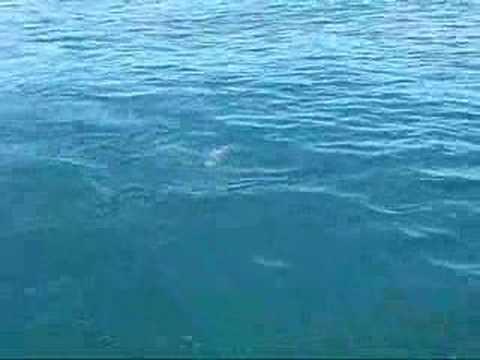 Morue 4 kg pêche mer bateau Pti Fred BEUTCLUB freeedo