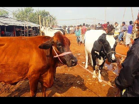 Xxx Mp4 677 Mundi Cow Dairy Cow Market Price কম দামে উন্নত জাতের গাভি গরু কিনুন ও বিক্রেতার সাক্ষাৎকার দেখুন 3gp Sex
