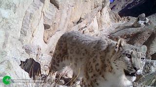 Rare Footage of a Snow Leopard on a Kill