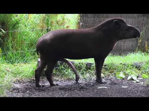 BRAZILIAN TAPIR with five legs at Melbourne zoo Australia