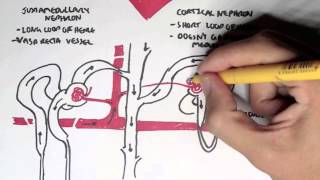 Nephrology - Kidney and Nephron Overview