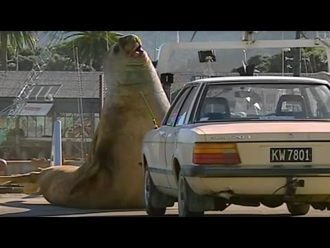 Xxx Mp4 Don T Mess With A HUGE Elephant Seal Super Giant Animals BBC 3gp Sex