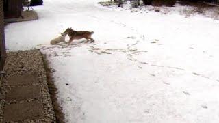 Coyote attacks family's dog in Illinois