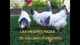 Las mejores razas de gallinas ponedoras - Luis Alberto 2018