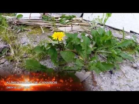 Alimentación de Canarios Diente de león para canarios. 2014 parte 3