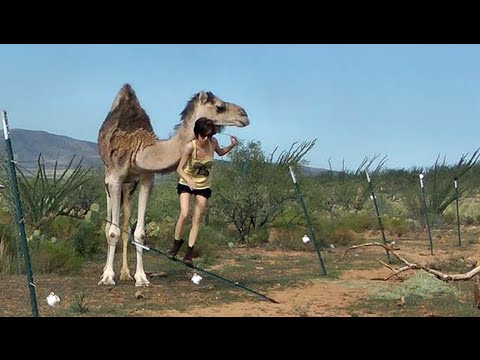 Bed to Camel in Less Than 3 Minutes (Girl vs. Escaped Camel)