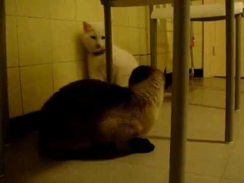 Male cat begging female Siamese cat, trying to convince her to mate making cute sounds!! ζευγάρωμα