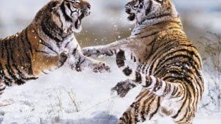 O Predador e a Presa: Tigre Siberiano (Dublado) - Documentário NatGeo
