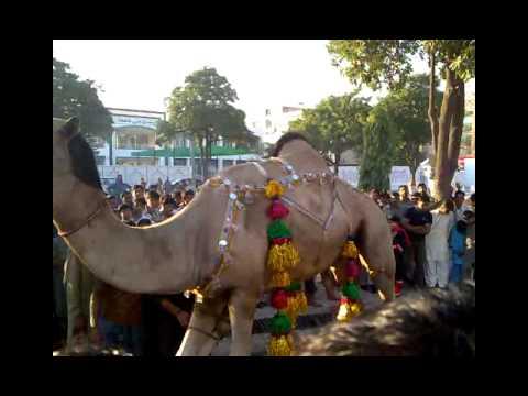 camel qurbani in gujranwala 2011