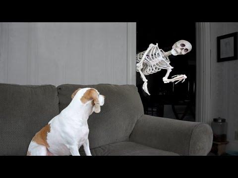 Xxx Mp4 Halloween Prank Skeleton Scares Dog 3gp Sex
